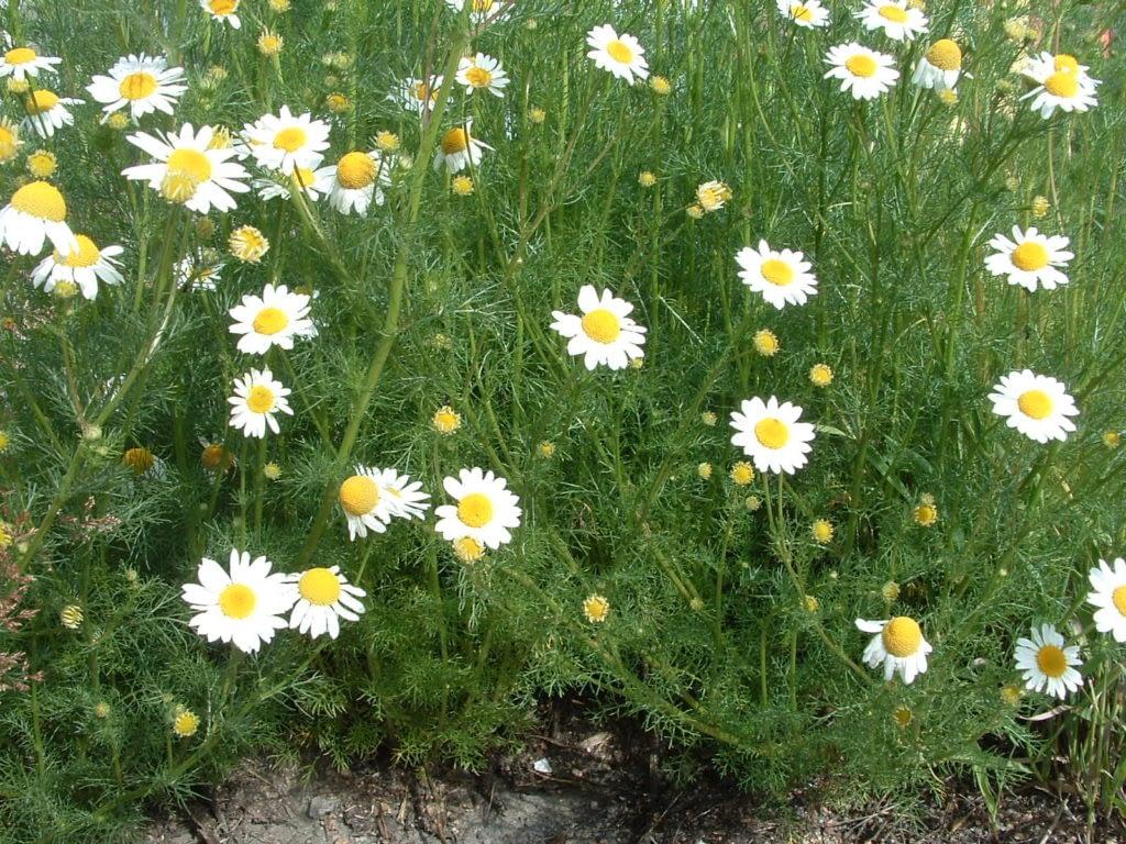 flowering noxious weeds