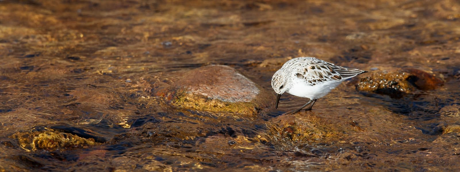 Sanderling (Calidris alba) foraging on river stones, Brush Creek Valley Open Space, Eagle County, Colorado, Todd Winslow Pierce